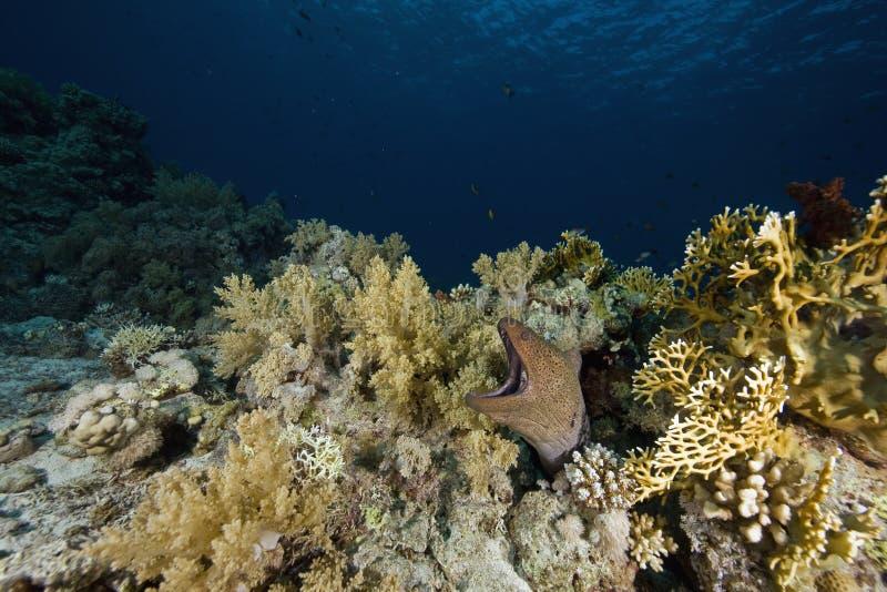 巨型gymnothorax javanicus海鳗 库存照片
