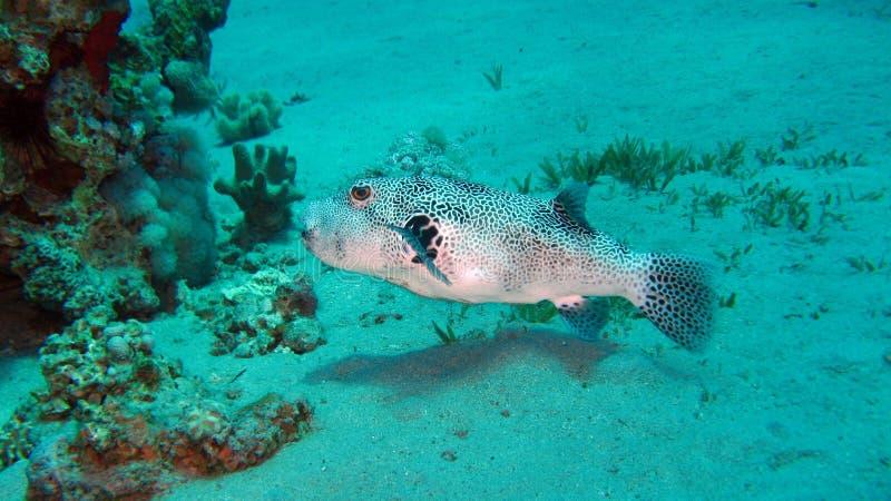 巨型pufferfish或Mbu pufferfish 免版税库存照片