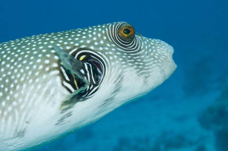 巨型pufferfish 免版税库存照片