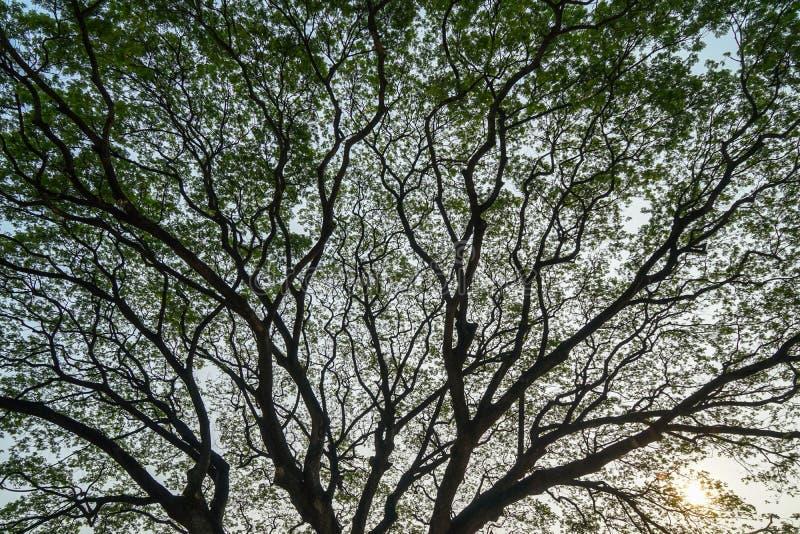 巨型raintree的美好的浩大的自然抽象剪影样式分支与新鲜的丰盈绿色叶子和明白蓝天 免版税图库摄影