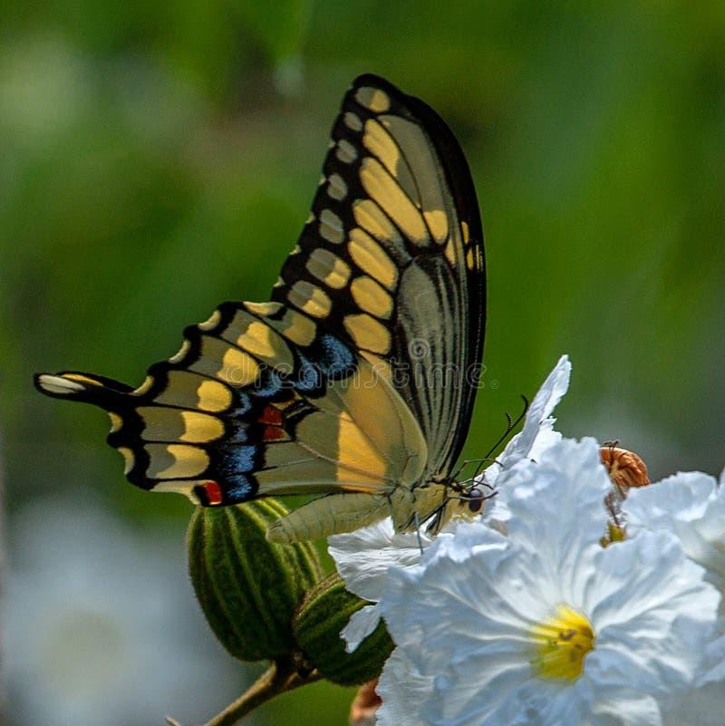 巨型swallowtail,在白花的Papilio cresphontes克拉默,森密诺尔人,佛罗里达 库存照片