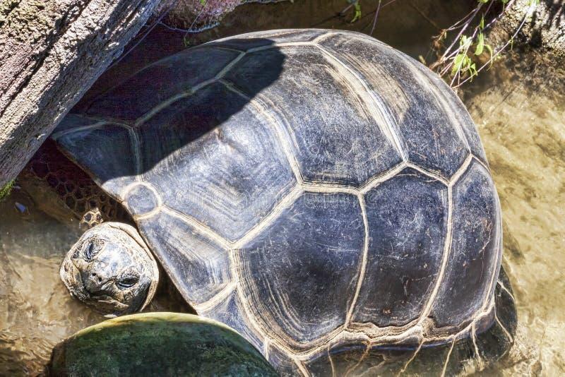 巨大和老土地乌龟在岩石中休息在池塘 库存照片