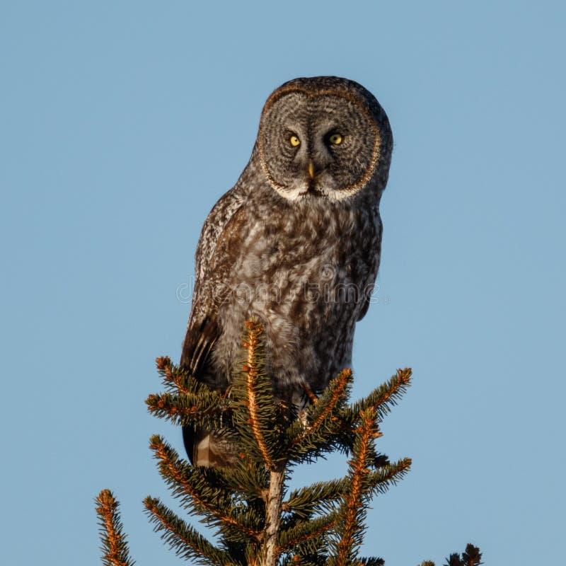 巨大灰色在树上面的猫头鹰栖息处 免版税库存照片