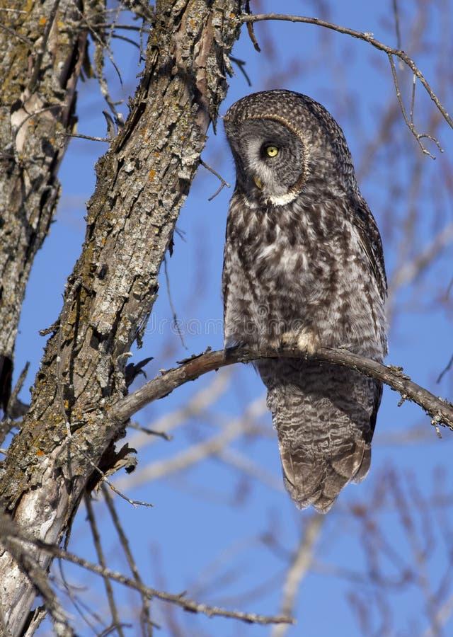 巨大灰色猫头鹰在加拿大 免版税库存照片