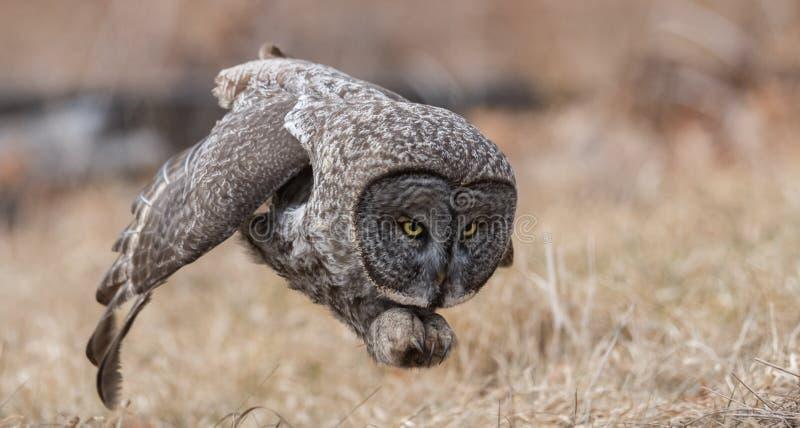 巨大灰色猫头鹰狩猎 免版税图库摄影