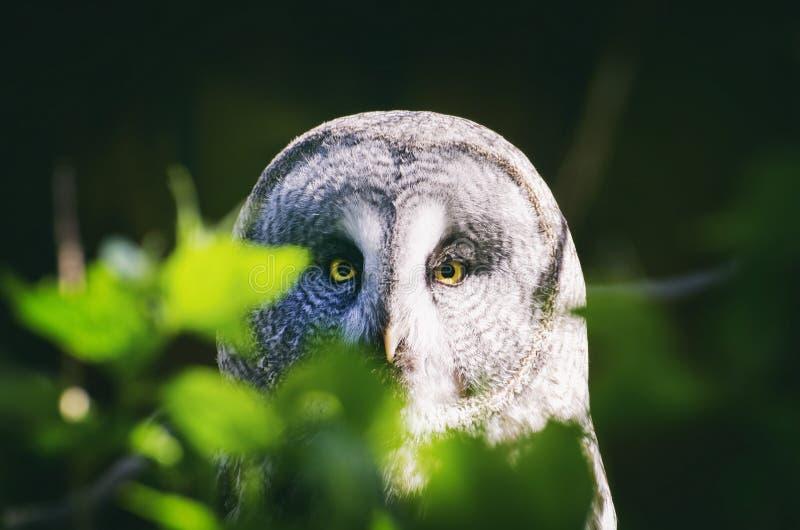 巨大灰色猫头鹰猫头鹰类nebulosa 免版税库存图片