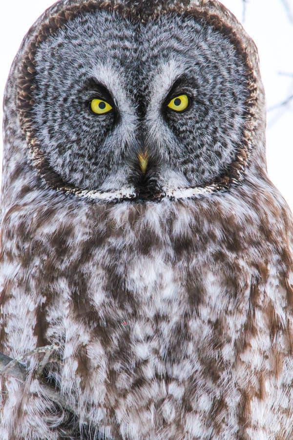 巨大灰色猫头鹰眼睛画象关闭  库存照片