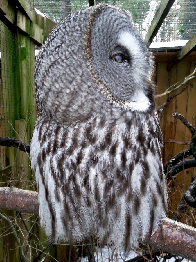 巨大灰色猫头鹰配置文件 免版税库存图片