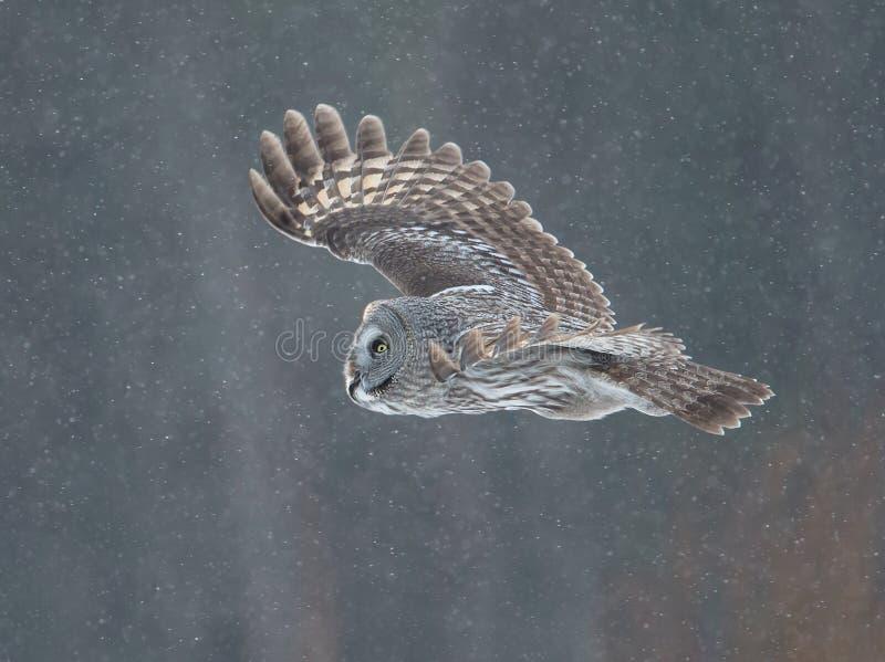 巨大灰色猫头鹰(猫头鹰类nebulosa) 免版税库存照片