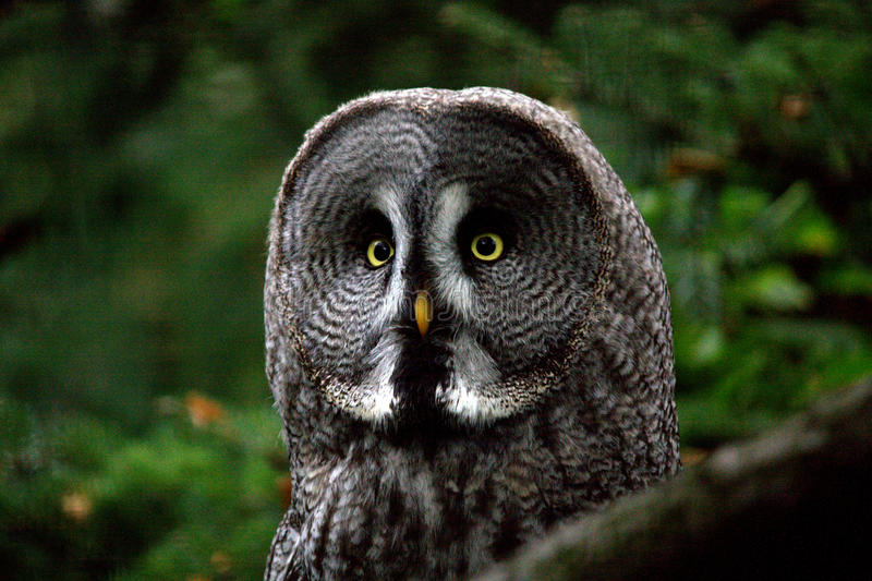 巨大灰色猫头鹰 免版税库存照片