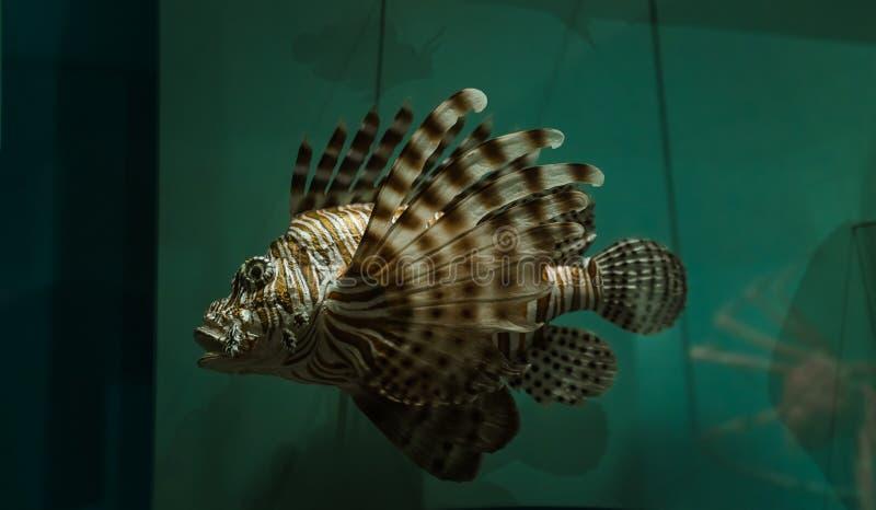 巨大特写镜头观点的在黑暗的海水颜色背景的狮子鱼 免版税图库摄影