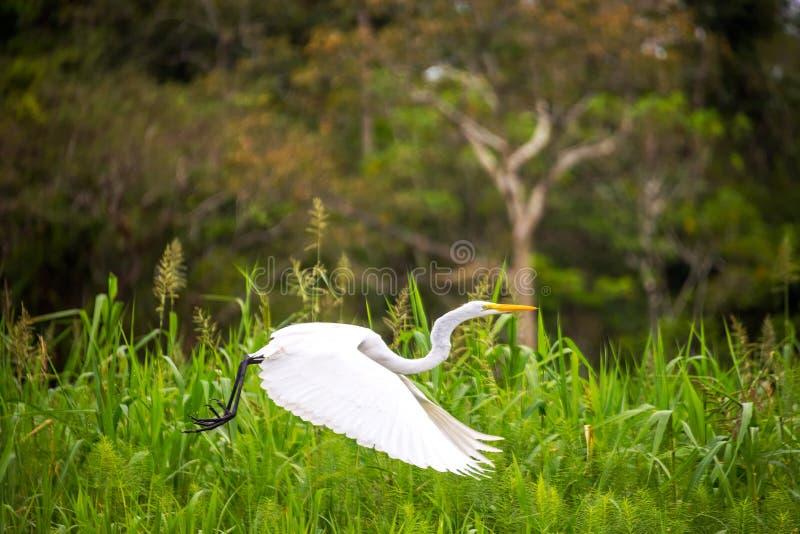 巨大白色苍鹭飞行 库存照片