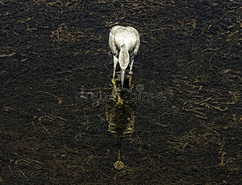 巨大白鹭反射 免版税图库摄影