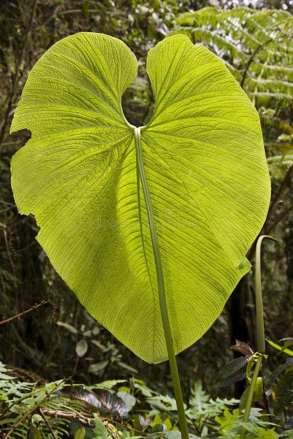 巨大的叶子-厄瓜多尔 库存图片