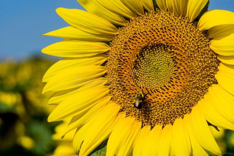 巨大的向日葵和蜂 库存照片