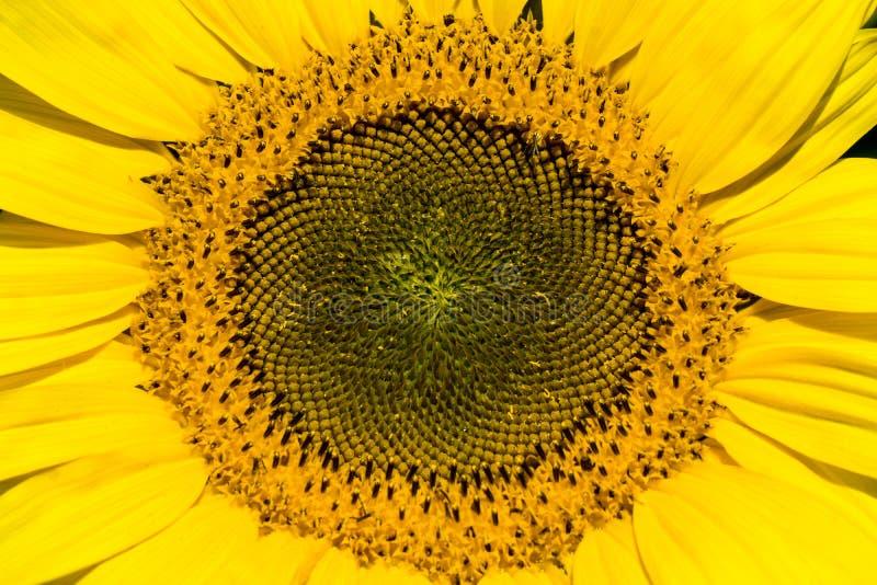 巨大的向日葵的宏观照片 库存图片