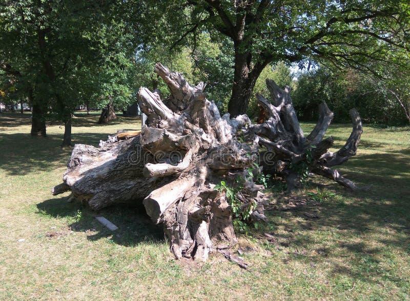 巨大的树根源老化 免版税库存图片