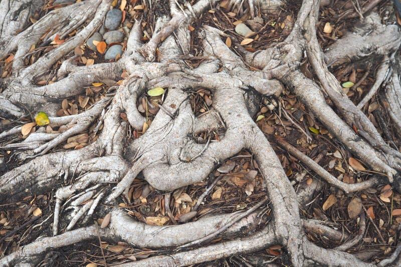 巨大的树根纹理背景 库存照片