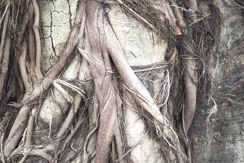 巨大的树根纹理背景 库存图片