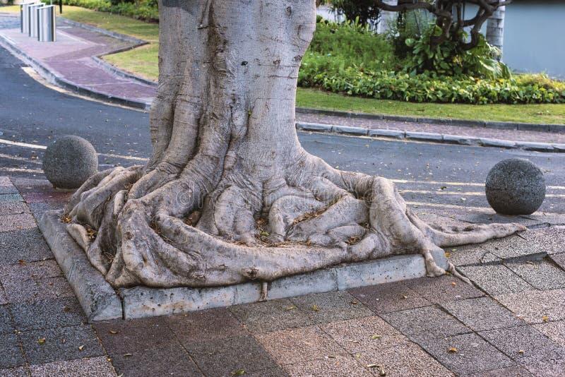 巨大的树根 库存照片