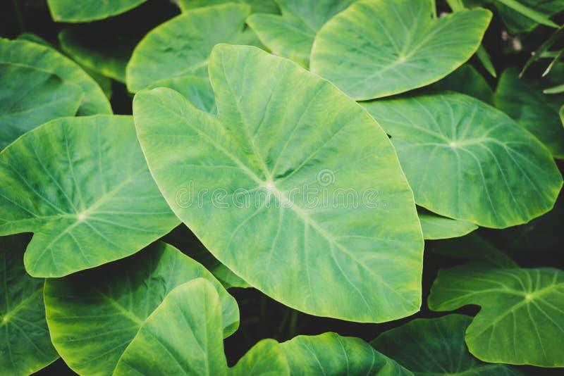 巨大的植物叶子特写镜头,热带植物离开宏指令 免版税图库摄影