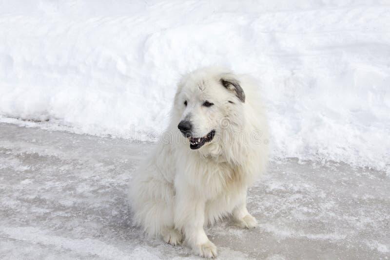 巨大的比利牛斯山脉的山狗开会水平的射击在冰冷的街道上解开了 免版税库存图片