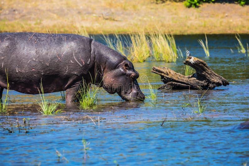 巨大的河马饮用的河水 免版税库存照片