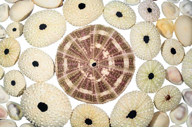 巨大的海胆壳由更小那些围拢了 免版税库存照片