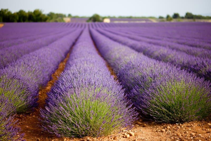 巨大的淡紫色领域在横谷,普罗旺斯,法国。 免版税图库摄影