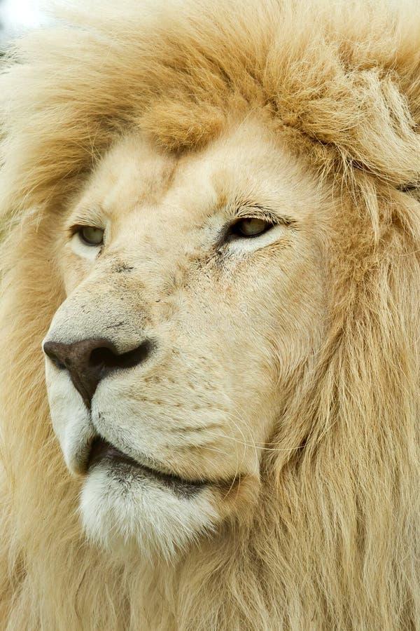 巨大的狮子男性白色 免版税图库摄影