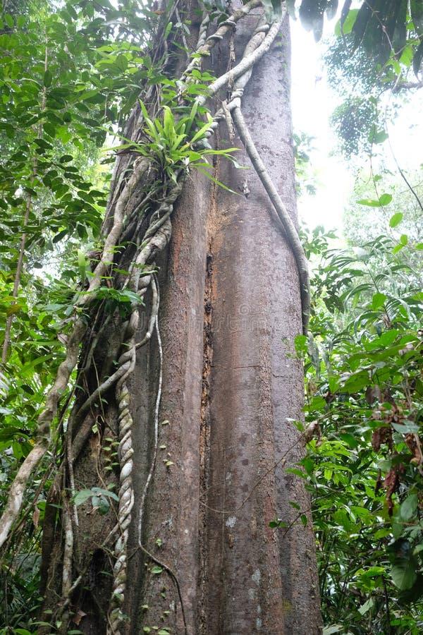 巨大的立场木材在深森林里 库存照片