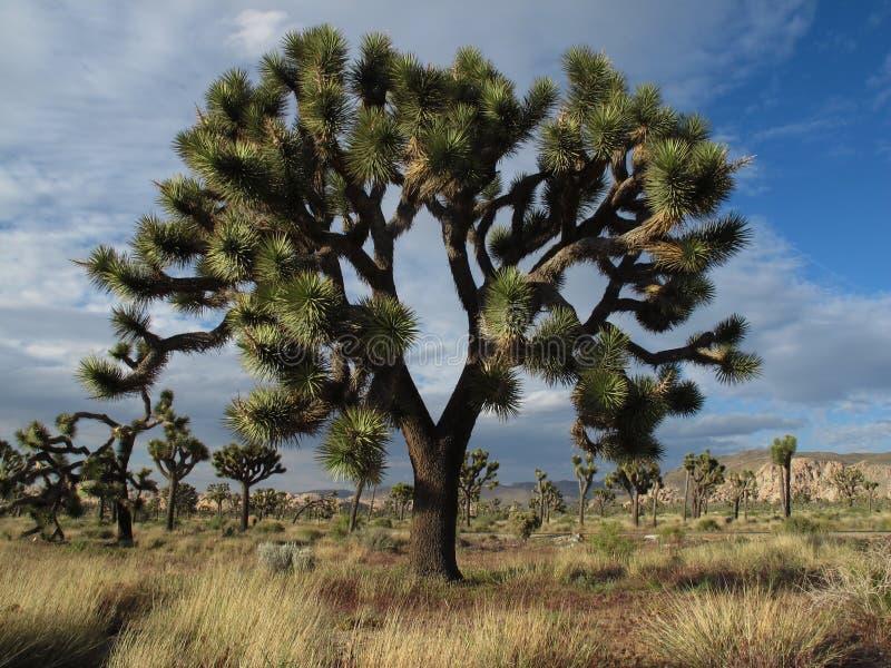 巨大的约书亚树在约书亚树国家公园,加利福尼亚 免版税图库摄影