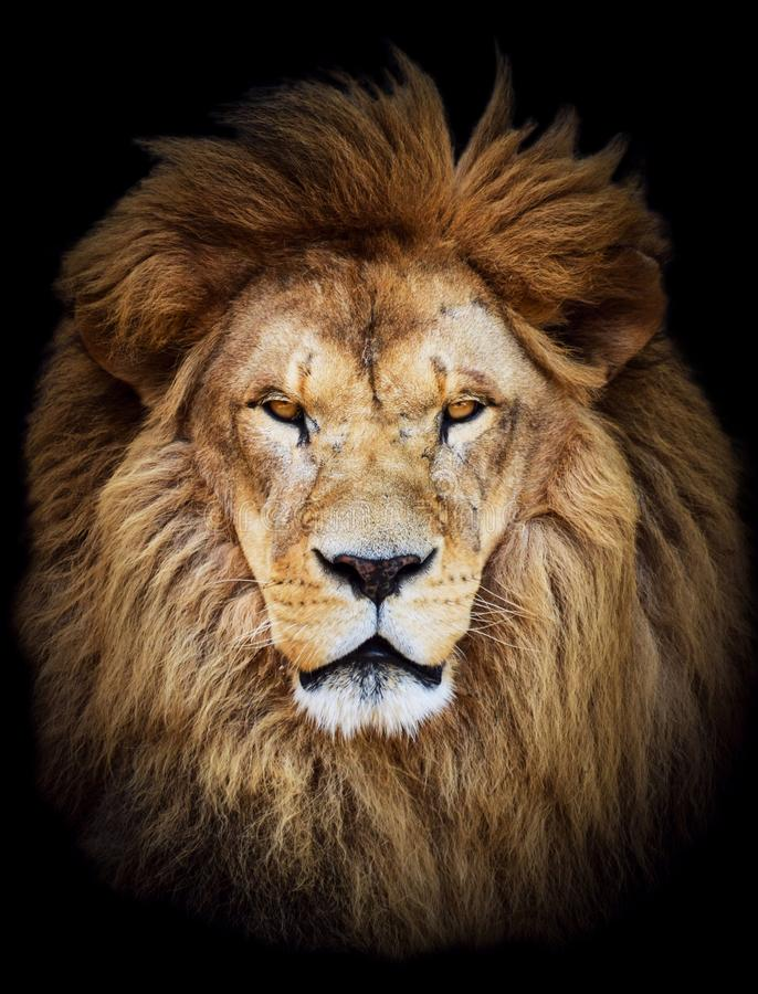 巨大的美丽的公非洲狮子画象反对黑背景的 库存图片