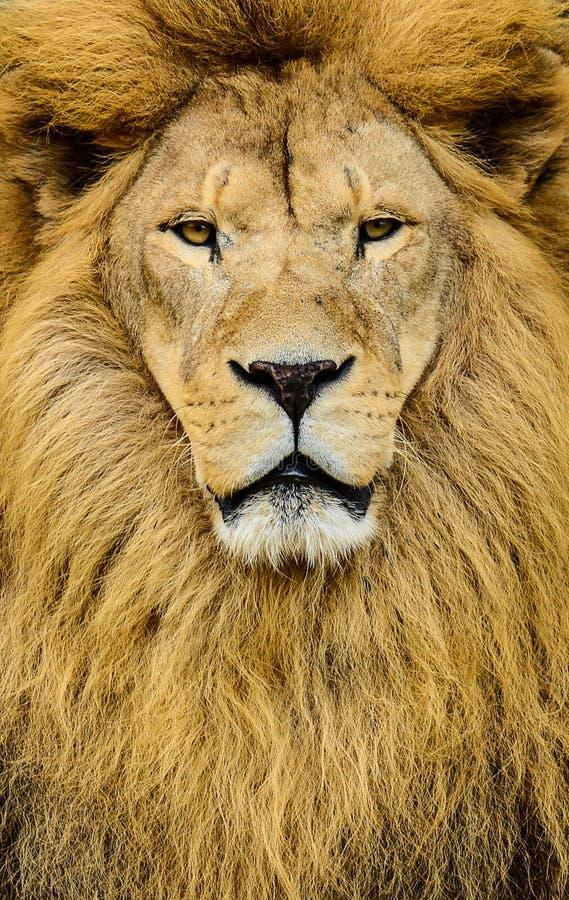 巨大的美丽的公非洲狮子画象  免版税库存照片
