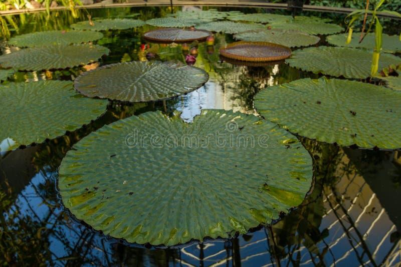 巨大的豪华的睡莲叶平安地基于在玻璃房子里面的池塘在奥克兰领域 库存图片