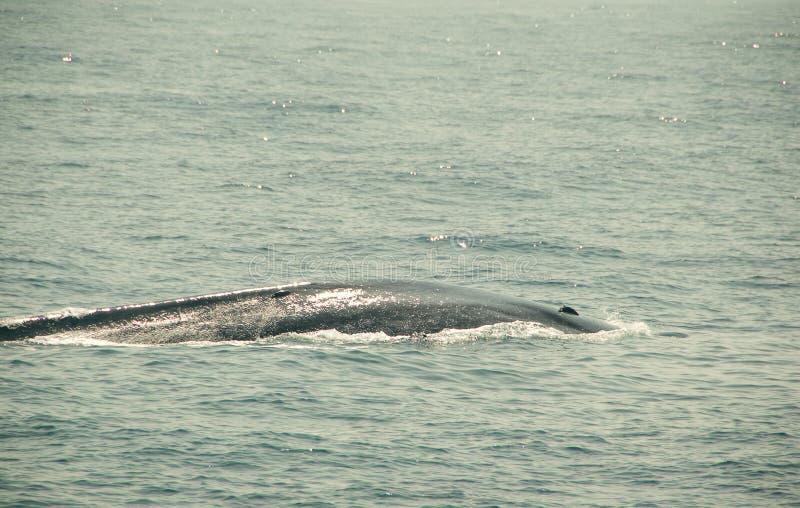 巨大的野生蓝鲸在印度洋潜水 野生生物自然背景 冒险旅行,旅游业 Mirissa,斯里兰卡 PR 库存图片