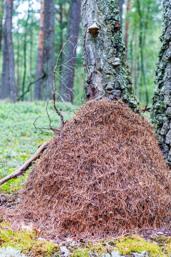 巨大的高蚁丘由干燥杉木针做成在森林里 免版税库存照片
