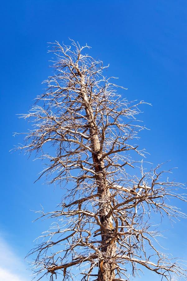 巨大的死的树和天空 库存图片