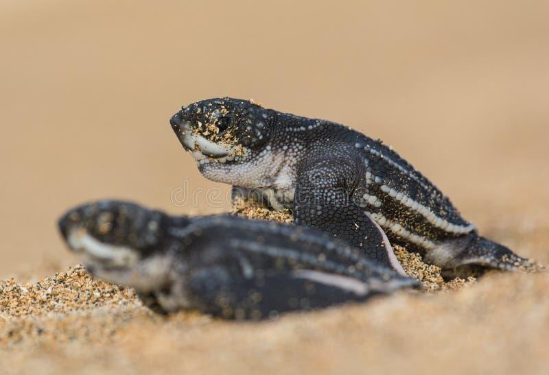 巨大种族,两婴孩海龟种族向海洋 库存图片