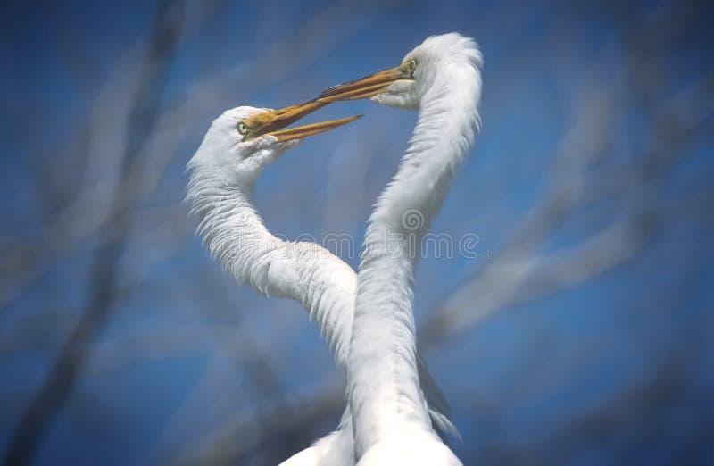 巨大苍鹭白色 库存照片