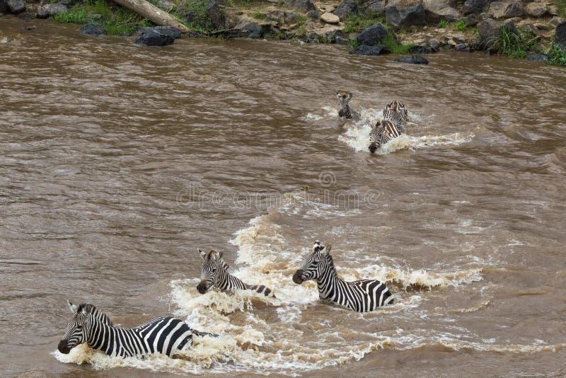 巨大迁移在肯尼亚 从马塞语玛拉的斑马对塞伦盖蒂,非洲 免版税库存图片