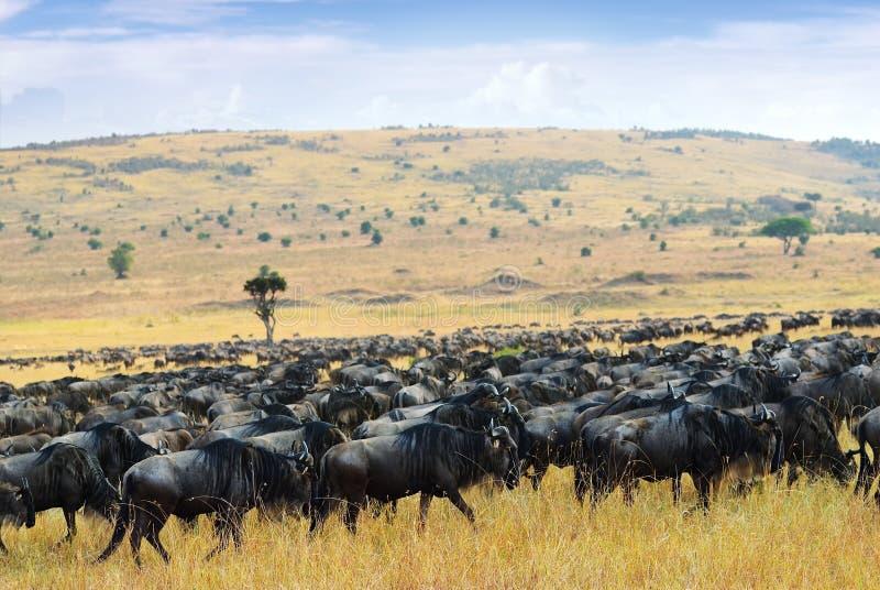 巨大迁移,非洲野生生物 非洲,肯尼亚 库存照片