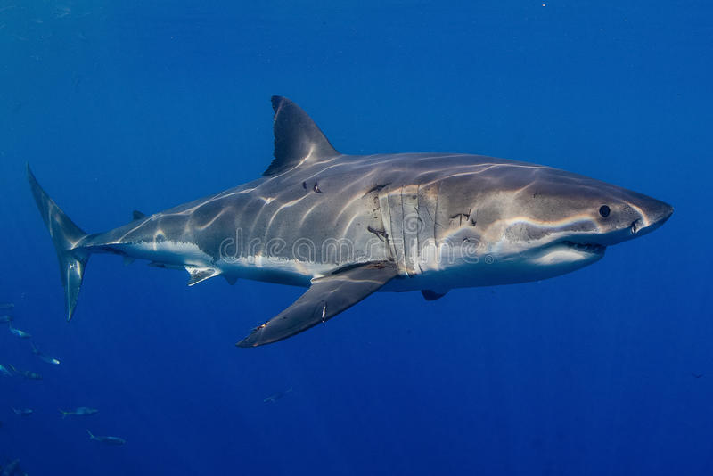 巨大鲨鱼白色 库存照片