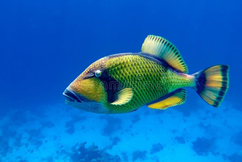 巨鳞鳞鳞鲀,大珊瑚礁触发鱼,绿色巴黎鱼 埃及红海 免版税图库摄影