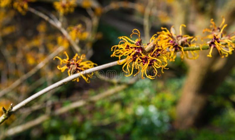 巫婆榛树灌木的橙色开花的枝杈 库存图片