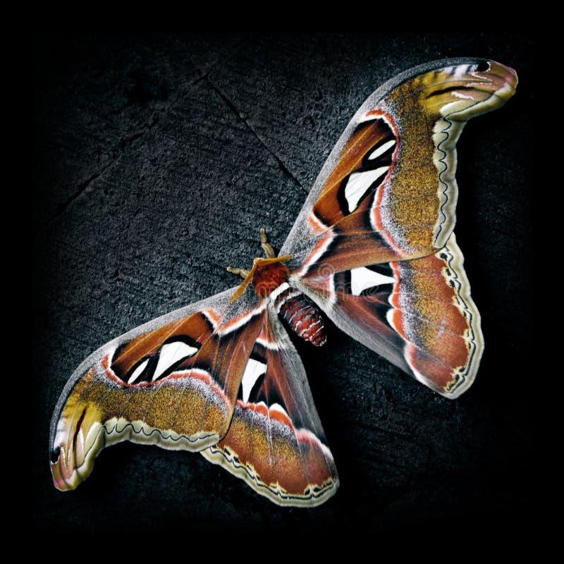 巴厘岛巨型蝴蝶- Attacus地图集 库存图片