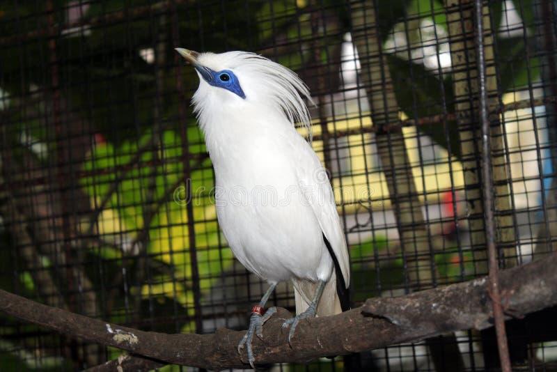 巴厘岛椋鸟鸟在鸟公园 库存图片