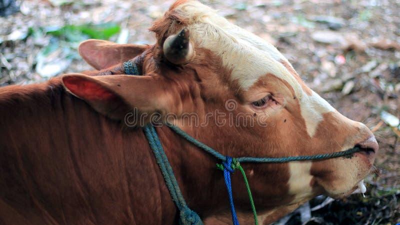 巴厘岛牛 免版税库存图片