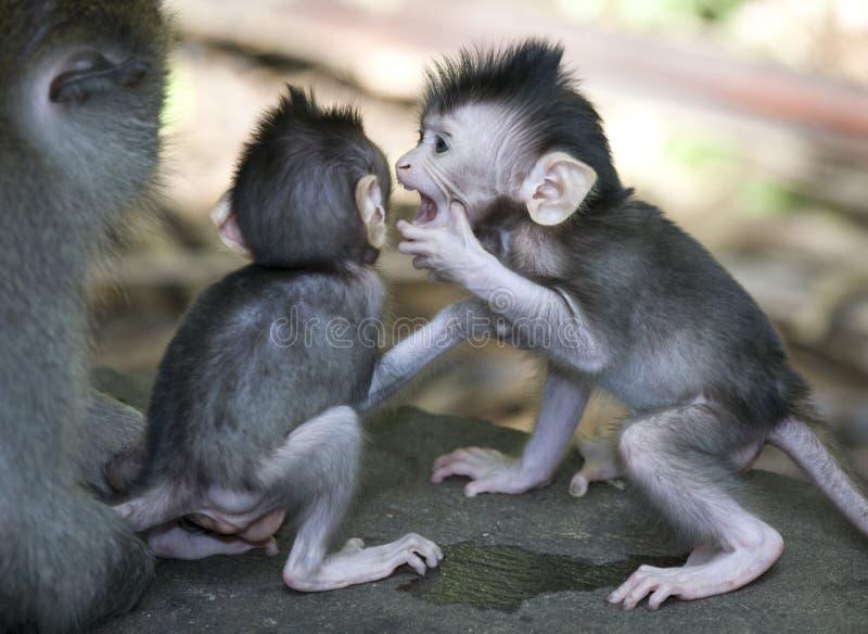 巴厘岛猴子 免版税库存照片