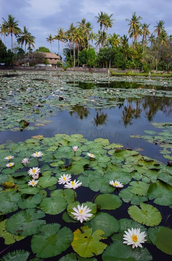 巴厘岛盐水湖莲花 图库摄影